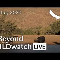 WILDwatch Live | 06 July, 2020 | Afternoon Safari | South Africa