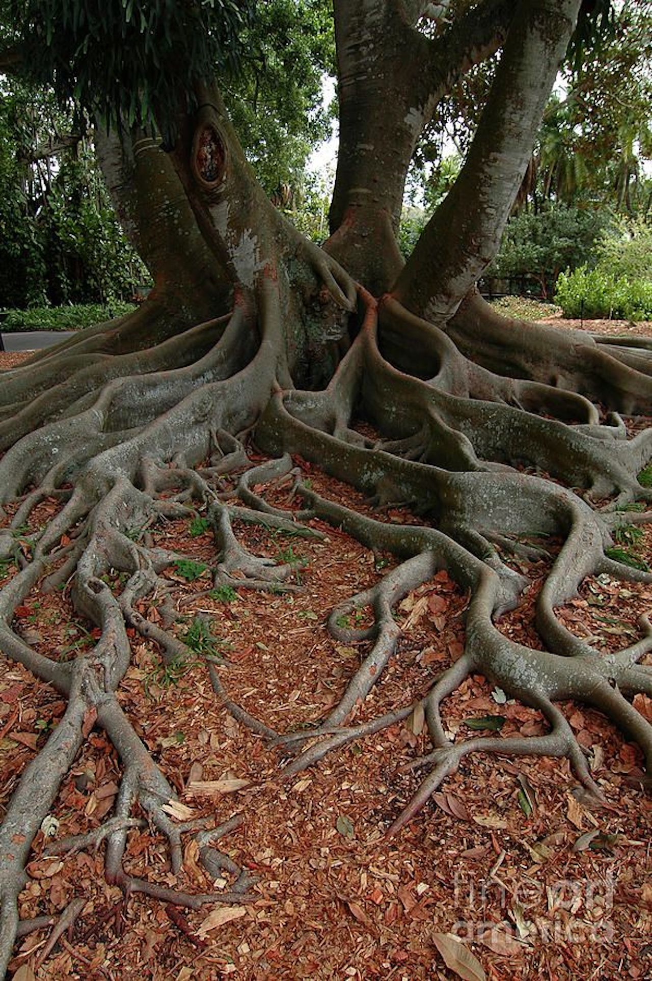 A banyan tree with aerial prop roots that mature into thick, woody trunks, which can become indistinguishable from the primary trunk with age